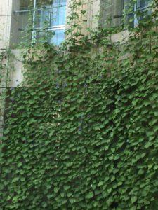 「緑のカーテンを町ぐるみで広げよう!!」会員募集