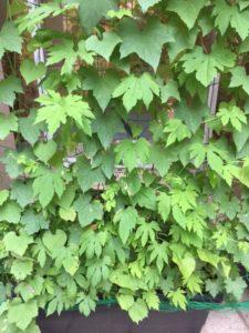 エコサークル緑のカーテン生長記録