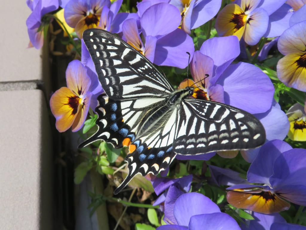 「板橋で見られる春の蝶 写真展」開催予告(4/25~5/31)