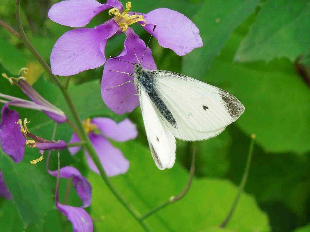 板橋で見られる蝶デジタル観察図鑑完成記念 板橋の蝶観察会 参加者募集