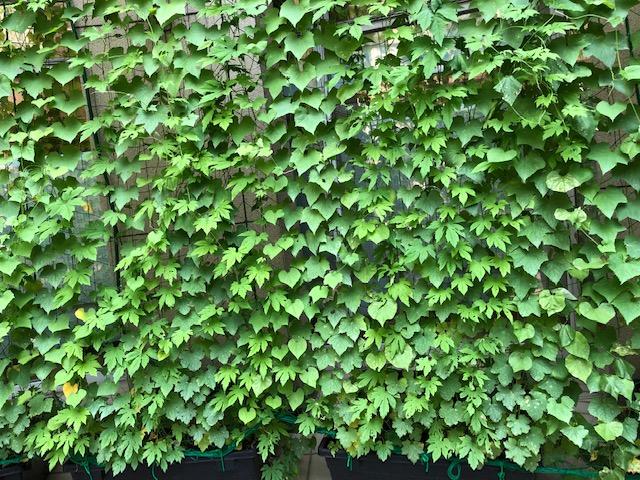 緑のカーテンスタンプラリー