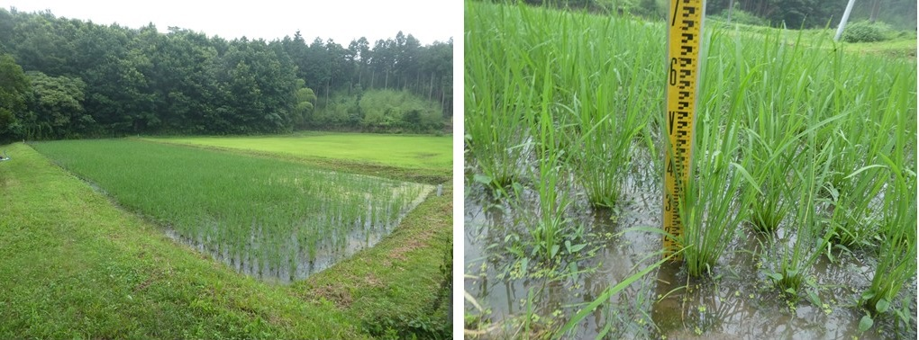 「里山で田植え体験」稲、順調に生長中です!