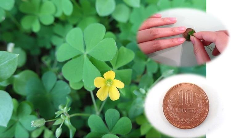 季節のわくわく工作&遊び「カタバミで10円玉をみがこう☘」