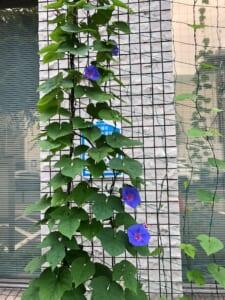 エコサークル緑のカーテン生長記録 2020