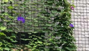 エコガーデン緑のカーテン生長記録 2020