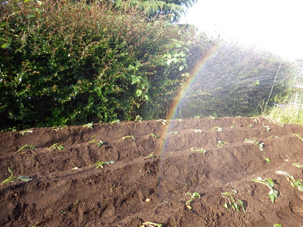 【令和3年度グローブクラブ5月】畑にサツマイモを植えました!