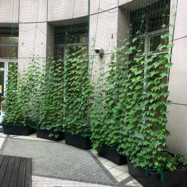 エコサークル緑のカーテン生長記録 2021