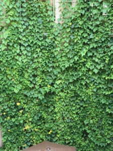 「エコサークル」緑のカーテン生長記録 2021