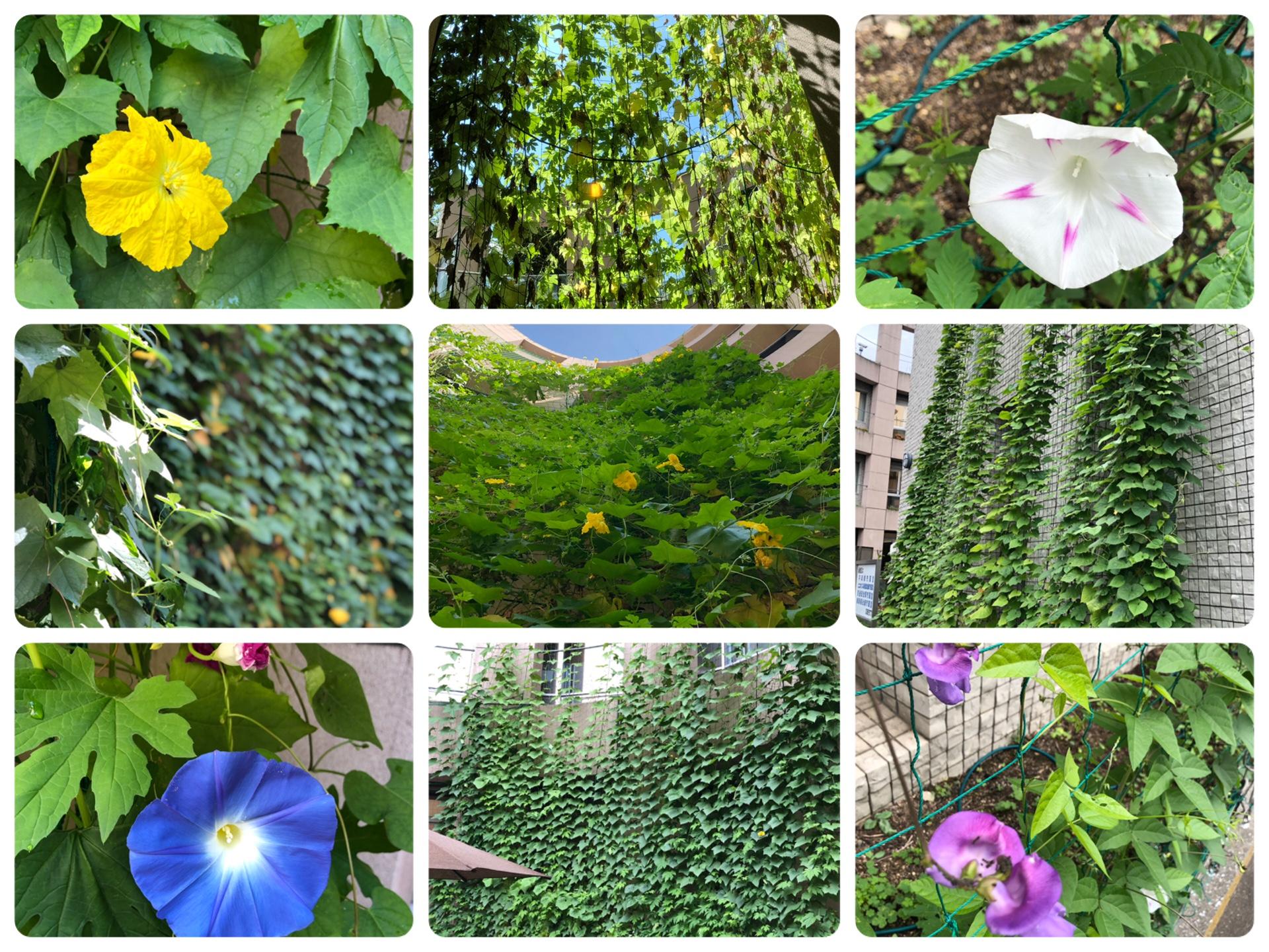 ・・・板橋区の緑のカーテン・・・・・・
