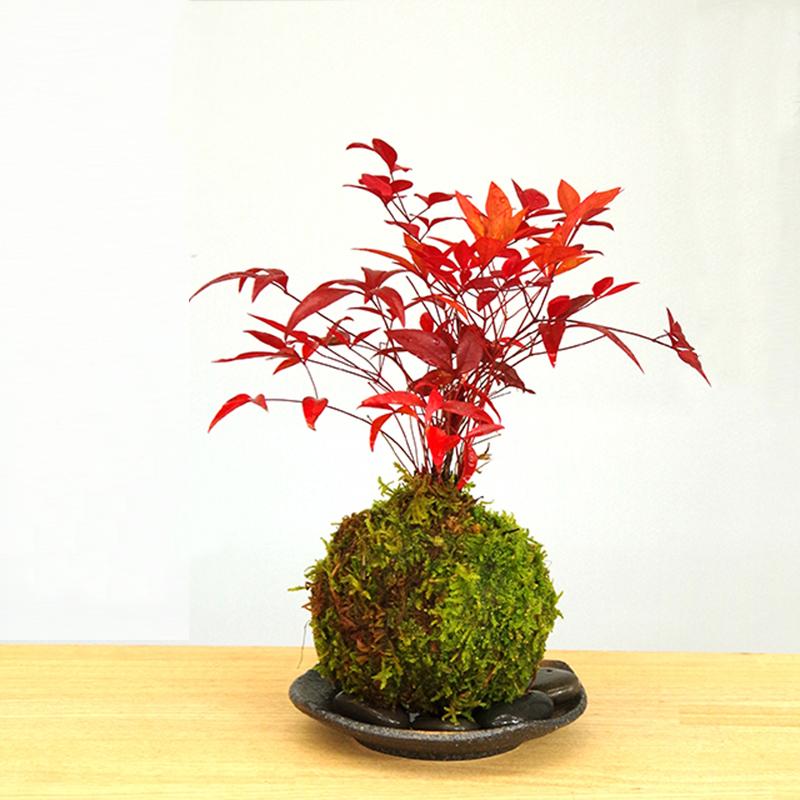 【予告】環境講座「お正月に飾る苔玉作り」